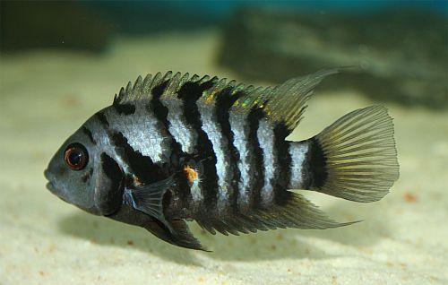 Archocentrus nigrofasciatus