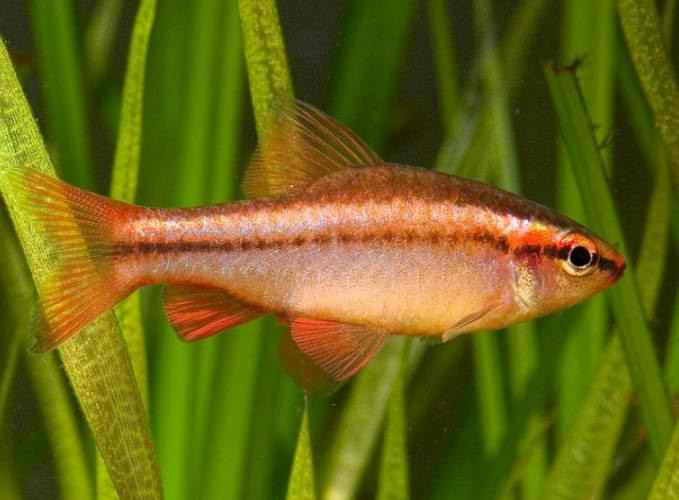 Puntius (Barbus) titteya