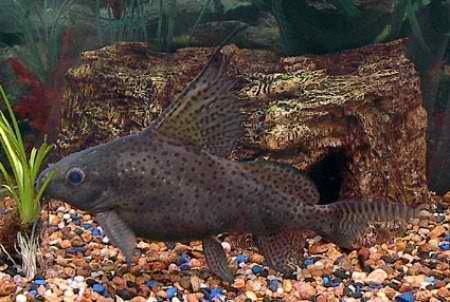 Synodontis eupterus Boulenger